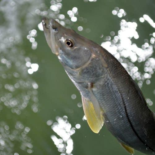 Snook fish