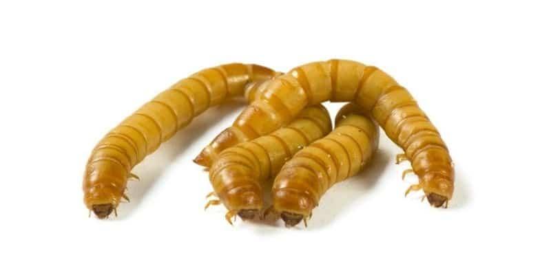 Mealworm fishing worm