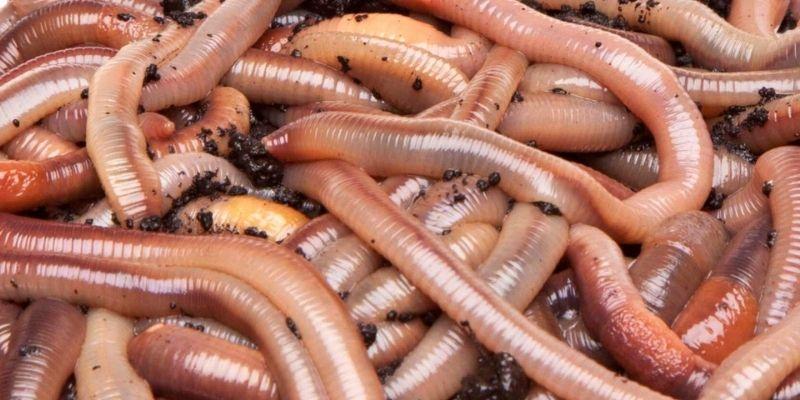 Nightcrawlers fishing worm
