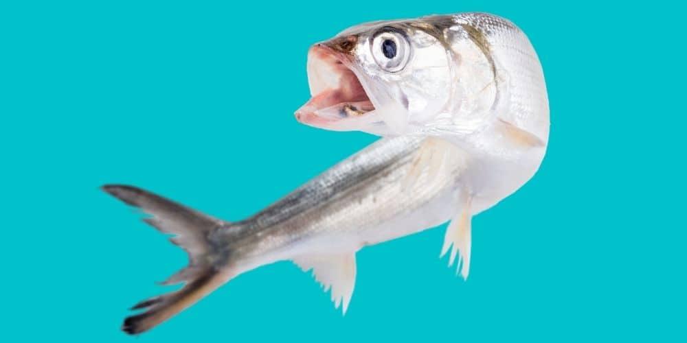 Do People Eat Ladyfish_