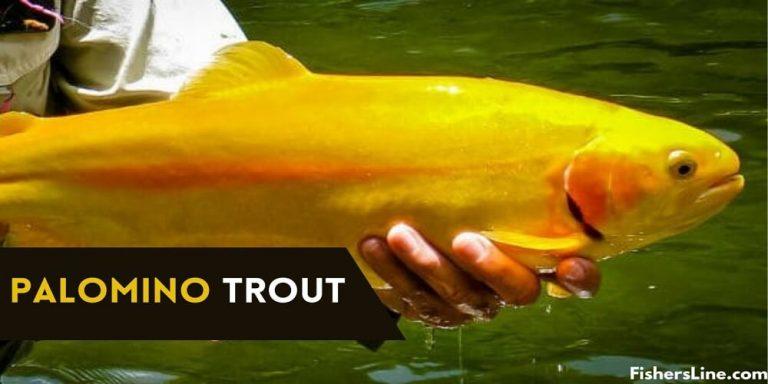 Palomino Trout